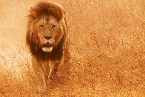 lion animals mammals