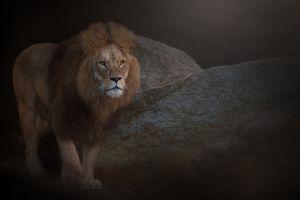lion animals photography