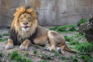 lion animals tongues
