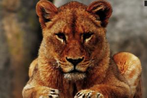 lion artwork animals mammals big cats