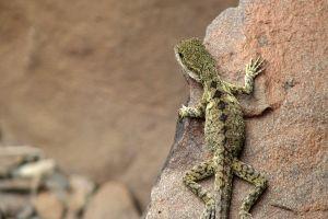 lizards gecko animals