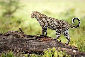 log leopard (animal) wildlife nature animals