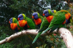 lorikeet parrot animals birds