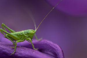 macro animals grasshopper insect