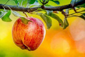 macro apples plants