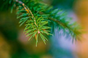 macro depth of field pine trees nature