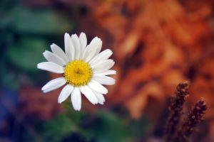 macro flowers matricaria
