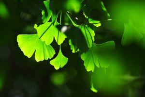 macro ginko plants