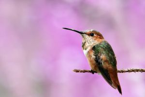 macro hummingbirds birds