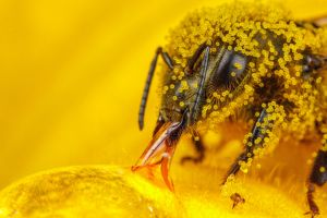 macro insect hymenoptera bees pollen