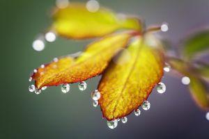 macro leaves water drops plants dew yellow