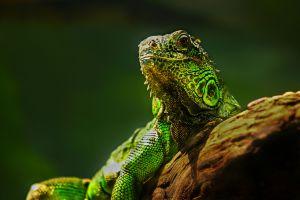 macro lizards animals