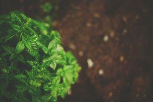 macro nature depth of field basil plants