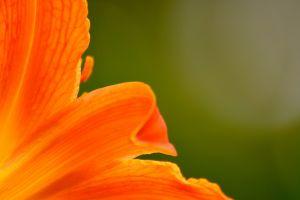 macro orange flowers flowers