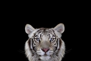 mammals cats big cats tiger photography simple background white tigers
