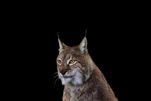 mammals photography simple background cats lynx