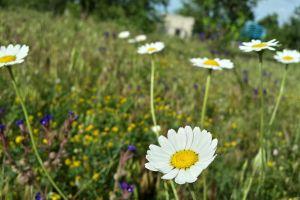 matricaria grass flowers