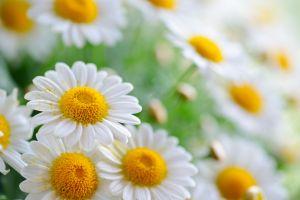 matricaria nature flowers