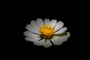 minimalism flowers white flowers