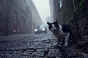 mist photography animals cobblestone street cats town worm's eye view pet pavements