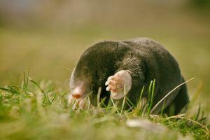 mole animals grass