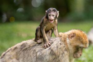 monkey animals nature