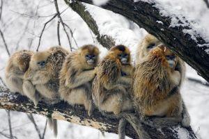 monkey china branch snow animals