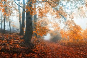 morning landscape path leaves mist nature forest fall trees