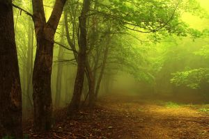 morning trees branch path nature mist forest leaves