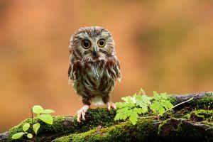moss birds owl