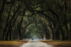 moss oak trees tunnel nature leaves dirt road fence landscape gates