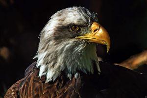 nature animals birds wildlife bald eagle eagle