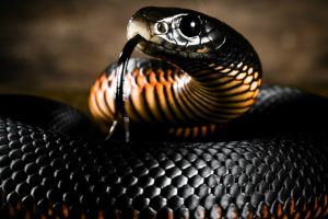 nature animals tongues snake reptiles skin depth of field