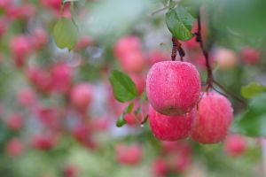 nature apples food fruit