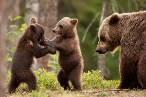 nature baby animals bears animals