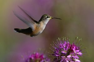nature birds hummingbirds