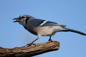 nature blue jays birds animals