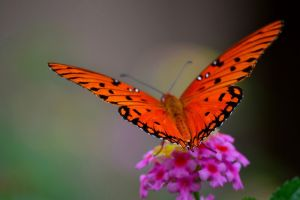 nature butterfly flowers macro