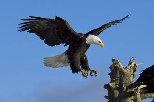 nature eagle birds animals