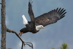 nature eagle birds fly