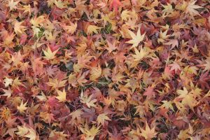 nature fall leaves maple leaves ground