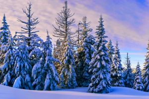 nature forest snow pine trees