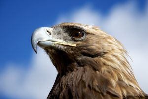 nature golden eagles closeup animals birds eagle