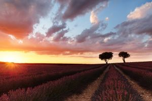 nature landscape flowers sunrise field lavender