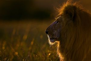 nature lion animals wildlife