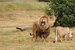 nature lion animals