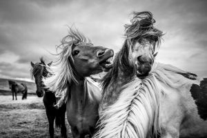 nature monochrome horse animals