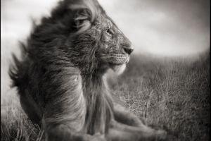 nature monochrome lion love