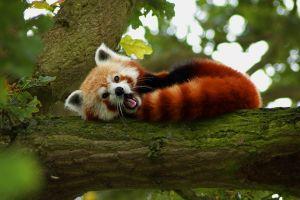 nature red red panda animals