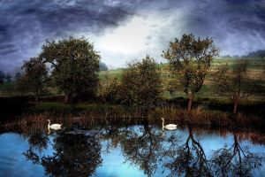 nature reflection water animals lake trees swan